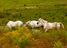 Three white horses Stock Images