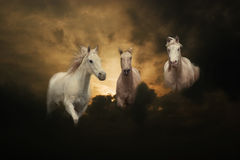 Three white horses sunset Royalty Free Stock Photo