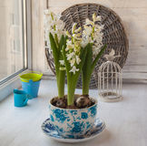 Three white  hyacinth in a vintage pot Stock Photos