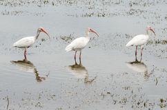 Three white ibis, Eudocimus albus, birds lined up Stock Images