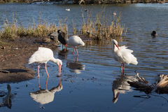 Three white ibis in shallow water Stock Images