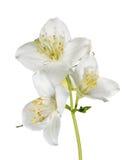 Three white jasmin flowers on branch Royalty Free Stock Photo