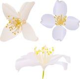Three white jasmine flowers illustration Stock Photo