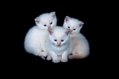 Three white kittens Stock Image