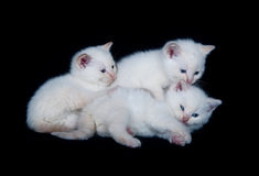 Three white kittens Royalty Free Stock Images