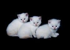 Three white kittens Royalty Free Stock Photo