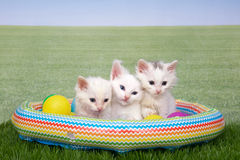 Three white kittens in a backyard pool royalty free stock photos