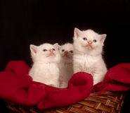 Three white kittens in a basket Stock Images