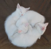 Three White Kittens on Brown Chair Stock Photos