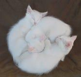 Three White Kittens on Brown Chair Stock Photos