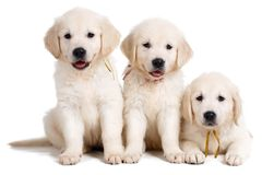 Three white Labrador puppy on white background Stock Photography