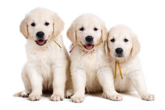 Three white Labrador puppy on white background Royalty Free Stock Photo