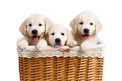 Three white Labrador puppy in a wicker basket Royalty Free Stock Image
