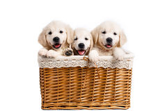 Three white Labrador puppy in a wicker basket. Three beautiful puppy breed white Labrador (Retriever) with black eyes and black noses,peeking out of the light Royalty Free Stock Photography