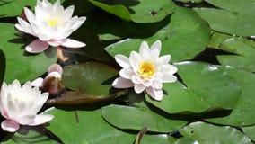 Three white lilies stock video