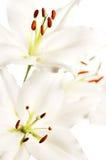 Three white lilies, high key Stock Photo