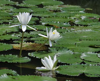 Three White Lilies. Singapore - August 2016 White water lilies growing among the lily pads in the lake before the Shaw Foundation Symphony Stage at the Singapore stock photos