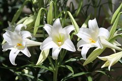 Three white lilies with yellow centers stock images
