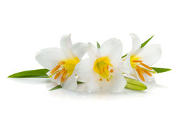 Three white lily. Isolated on white background Stock Image