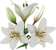 Three white lily blooms and two buds Stock Images