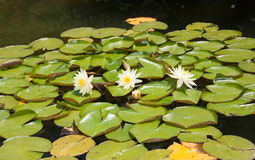 Three white lotus Stock Photos