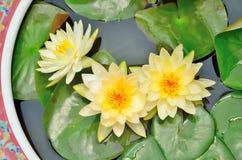 Three white lotus. In the lotus tank Royalty Free Stock Image