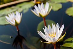 Three white lotuses and group of leaf Stock Photography