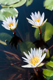 Three white lotuses and group of leaf Royalty Free Stock Photography