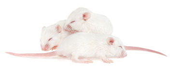 Three white mouse pups on white background Stock Images