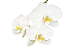 Three white orchids flowers Royalty Free Stock Images