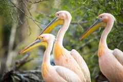 Three white pelican Royalty Free Stock Images