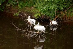 Three white pelicans sit on a dry tree, reflected in a pond, dar Stock Image