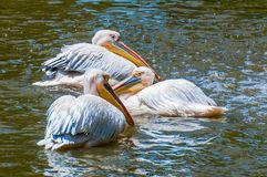 Group of white pelicans swimming in lake. Three white pelicans swimming in lake stock image