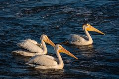 Three Pelicans Swimming. Three white pelicans swimming in the Mississippi River royalty free stock images