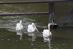 Three White Pelicans Swimming Stock Photo
