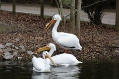 Three white pelicans in the water. stock image