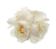 Three white peony flowers Royalty Free Stock Images