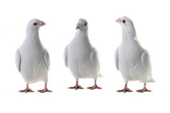 Three white pigeon Royalty Free Stock Photos
