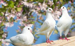 Three white pigeon on flowering background Royalty Free Stock Images