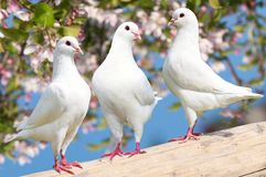 Three white pigeon on flowering background Royalty Free Stock Photos