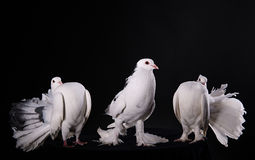 Three white pigeons Royalty Free Stock Images