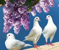Three white pigeons on perch with flowering lilac tree Royalty Free Stock Images