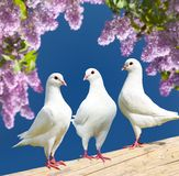 Three white pigeons on perch with flowering lilac tree Royalty Free Stock Photos