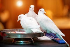 Three of white pigeons Stock Photo