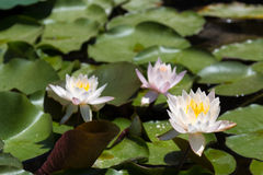 Three white and pink lilies in a pond Stock Photo