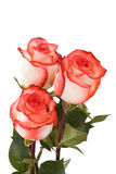 Three white-pink roses Stock Image