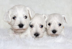 Three white puppies stock image