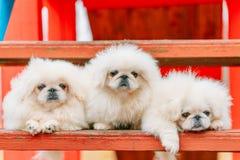 Three White Puppies Pekingese Pekinese Peke Whelps Puppy Dog Royalty Free Stock Image