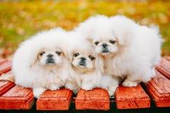 Three White Puppies Pekingese Pekinese Peke Whelps Puppy Dog Royalty Free Stock Images