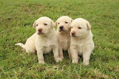 Three white puppies. Three cute Labrador Retriever & x28;mix& x29; puppies sit together in the yard royalty free stock photos